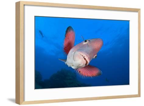 A Portrait Of A Mexican Hogfish (Bodianus Diplotaenia)-Alex Mustard-Framed Art Print