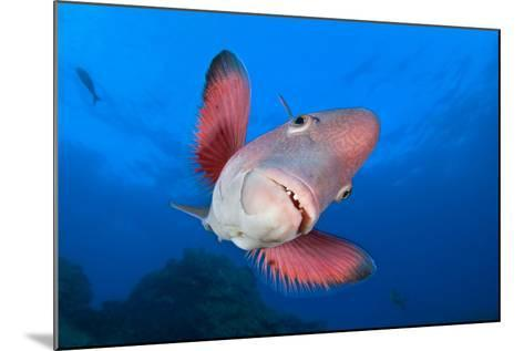 A Portrait Of A Mexican Hogfish (Bodianus Diplotaenia)-Alex Mustard-Mounted Photographic Print