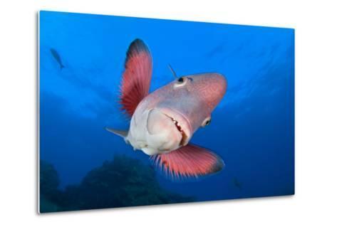 A Portrait Of A Mexican Hogfish (Bodianus Diplotaenia)-Alex Mustard-Metal Print