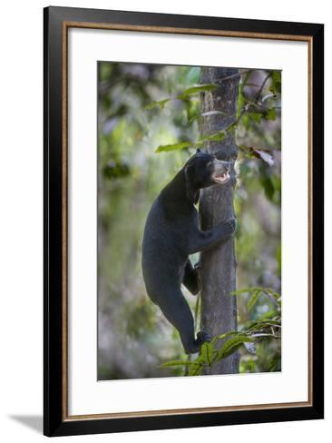 Bornean Sun Bear (Helarctos Malayanus Euryspilus) Climbing Tree At Conservation Centre-Nick Garbutt-Framed Art Print