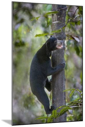 Bornean Sun Bear (Helarctos Malayanus Euryspilus) Climbing Tree At Conservation Centre-Nick Garbutt-Mounted Photographic Print