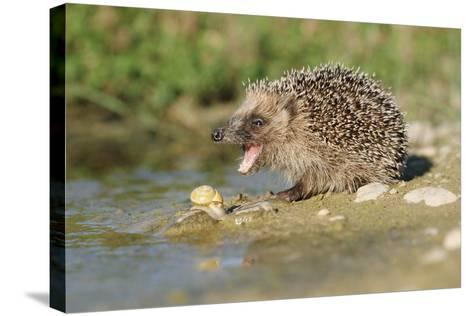 Hedgehog About To Feed On Snail (Erinaceus Europaeus) Germany-Dietmar Nill-Stretched Canvas Print