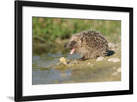 Hedgehog About To Feed On Snail (Erinaceus Europaeus) Germany-Dietmar Nill-Framed Art Print