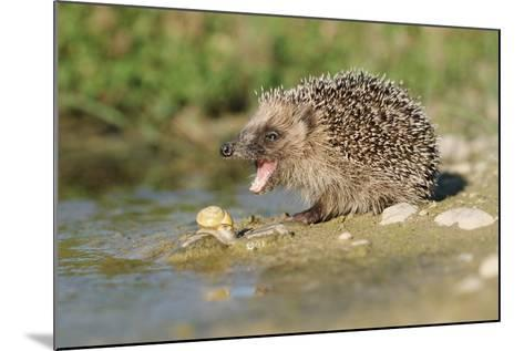 Hedgehog About To Feed On Snail (Erinaceus Europaeus) Germany-Dietmar Nill-Mounted Photographic Print