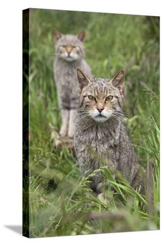 Scottish Wildcats (Felis Sylvestris), Captive, UK, June-Ann & Steve Toon-Stretched Canvas Print