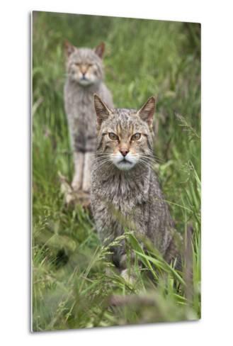 Scottish Wildcats (Felis Sylvestris), Captive, UK, June-Ann & Steve Toon-Metal Print