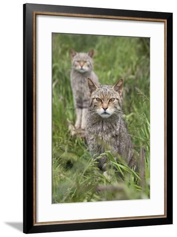 Scottish Wildcats (Felis Sylvestris), Captive, UK, June-Ann & Steve Toon-Framed Art Print