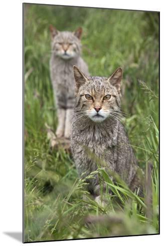 Scottish Wildcats (Felis Sylvestris), Captive, UK, June-Ann & Steve Toon-Mounted Photographic Print