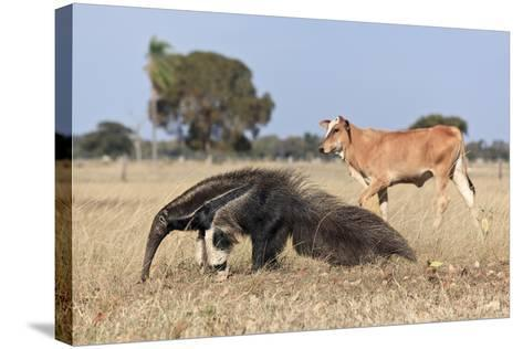 Giant Anteater (Myrmecophaga Tridactyla) Walking In Front Of Domestic Cattle, Pantanal, Brazil-Angelo Gandolfi-Stretched Canvas Print