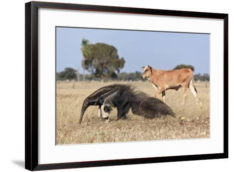 Giant Anteater (Myrmecophaga Tridactyla) Walking In Front Of Domestic Cattle, Pantanal, Brazil-Angelo Gandolfi-Framed Art Print