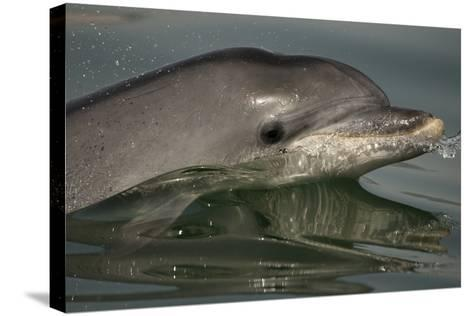 Bottlenose Dolphin (Tursiops Truncatus) Reflected At The Surface, Sado Estuary, Portugal-Pedro Narra-Stretched Canvas Print