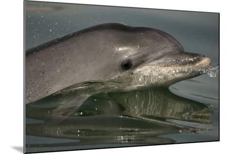 Bottlenose Dolphin (Tursiops Truncatus) Reflected At The Surface, Sado Estuary, Portugal-Pedro Narra-Mounted Photographic Print