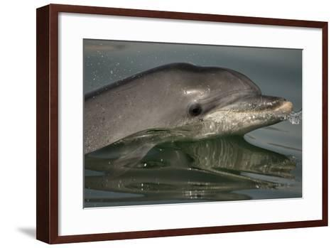 Bottlenose Dolphin (Tursiops Truncatus) Reflected At The Surface, Sado Estuary, Portugal-Pedro Narra-Framed Art Print