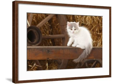 British Longhair, Kitten With Blue-Van Colouration Age 10 Weeks In Barn With Straw-Petra Wegner-Framed Art Print