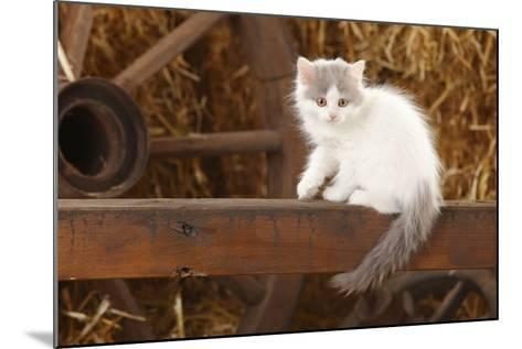 British Longhair, Kitten With Blue-Van Colouration Age 10 Weeks In Barn With Straw-Petra Wegner-Mounted Photographic Print