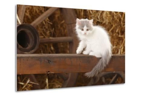 British Longhair, Kitten With Blue-Van Colouration Age 10 Weeks In Barn With Straw-Petra Wegner-Metal Print