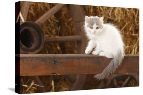 British Longhair, Kitten With Blue-Van Colouration Age 10 Weeks In Barn With Straw-Petra Wegner-Stretched Canvas Print