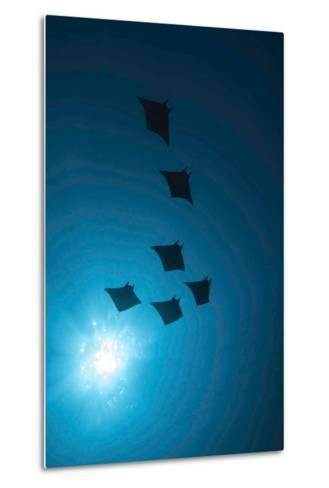 Devil Rays (Mobula Japonica) Viewed From Below, South Ari Atoll, Maldives-Michael Pitts-Metal Print
