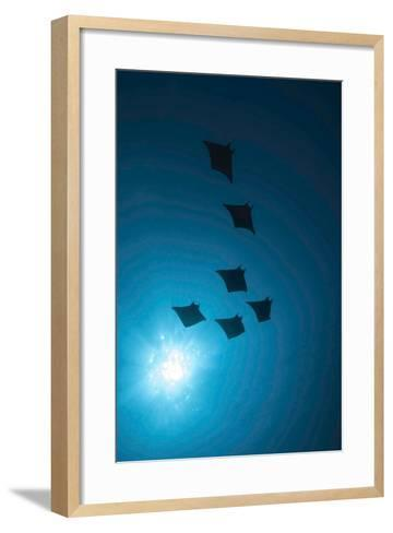 Devil Rays (Mobula Japonica) Viewed From Below, South Ari Atoll, Maldives-Michael Pitts-Framed Art Print