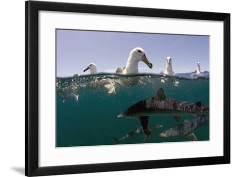 Shy Albatros (Thalassarche Cauta) Swimming At Surface With Blue Sharks (Prionace Glauca) Below-Chris & Monique Fallows-Framed Art Print