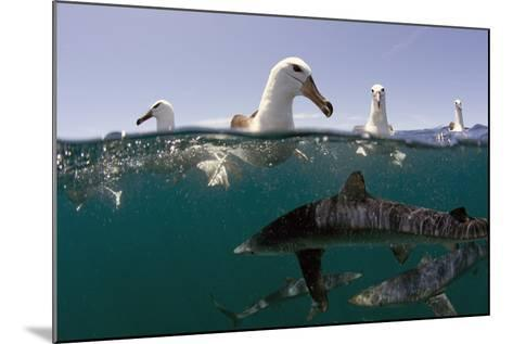 Shy Albatros (Thalassarche Cauta) Swimming At Surface With Blue Sharks (Prionace Glauca) Below-Chris & Monique Fallows-Mounted Photographic Print