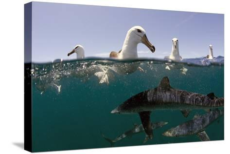 Shy Albatros (Thalassarche Cauta) Swimming At Surface With Blue Sharks (Prionace Glauca) Below-Chris & Monique Fallows-Stretched Canvas Print