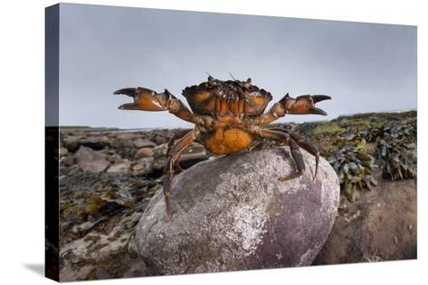 Shore Crab (Carcinus Maenas) Female Carrying Eggs With Claws Raised In Defensive Posture-Alex Hyde-Stretched Canvas Print