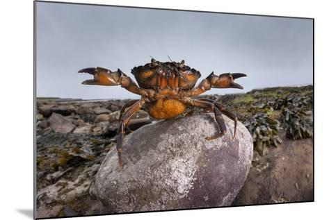 Shore Crab (Carcinus Maenas) Female Carrying Eggs With Claws Raised In Defensive Posture-Alex Hyde-Mounted Photographic Print