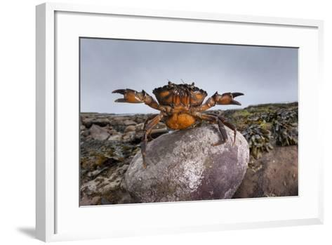 Shore Crab (Carcinus Maenas) Female Carrying Eggs With Claws Raised In Defensive Posture-Alex Hyde-Framed Art Print