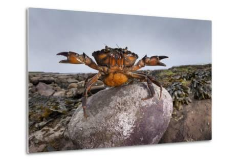 Shore Crab (Carcinus Maenas) Female Carrying Eggs With Claws Raised In Defensive Posture-Alex Hyde-Metal Print