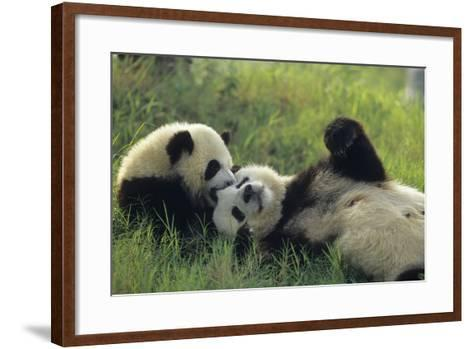 Giant Panda (Ailuropoda Melanoleuca) Mother And Young Playing, Captive, Sichuan, China. Non-Ex-Cyril Ruoso-Framed Art Print