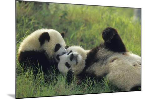 Giant Panda (Ailuropoda Melanoleuca) Mother And Young Playing, Captive, Sichuan, China. Non-Ex-Cyril Ruoso-Mounted Photographic Print