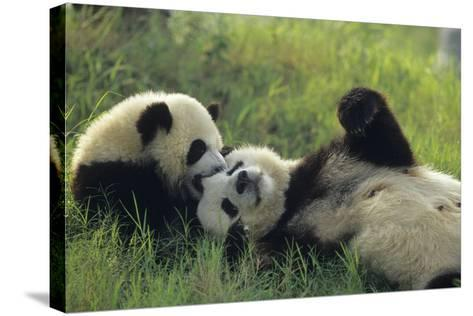 Giant Panda (Ailuropoda Melanoleuca) Mother And Young Playing, Captive, Sichuan, China. Non-Ex-Cyril Ruoso-Stretched Canvas Print