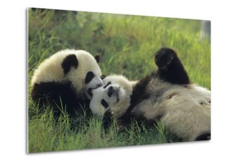 Giant Panda (Ailuropoda Melanoleuca) Mother And Young Playing, Captive, Sichuan, China. Non-Ex-Cyril Ruoso-Metal Print