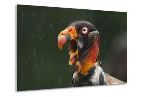 Head Portrait Of King Vulture (Sarcoramphus Papa) Calling In The Rain, Santa Rita, Costa Rica-Bence Mate-Metal Print