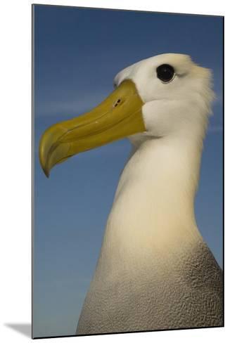 Head Portrait Of Waved Albatross (Phoebastria Irrorata) Punto Cevallos-Pete Oxford-Mounted Photographic Print