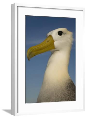 Head Portrait Of Waved Albatross (Phoebastria Irrorata) Punto Cevallos-Pete Oxford-Framed Art Print