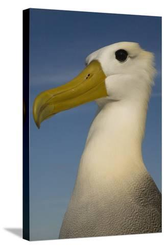 Head Portrait Of Waved Albatross (Phoebastria Irrorata) Punto Cevallos-Pete Oxford-Stretched Canvas Print