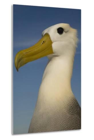 Head Portrait Of Waved Albatross (Phoebastria Irrorata) Punto Cevallos-Pete Oxford-Metal Print