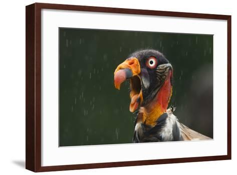 Head Portrait Of King Vulture (Sarcoramphus Papa) Calling In The Rain, Santa Rita, Costa Rica-Bence Mate-Framed Art Print
