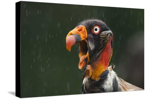 Head Portrait Of King Vulture (Sarcoramphus Papa) Calling In The Rain, Santa Rita, Costa Rica-Bence Mate-Stretched Canvas Print