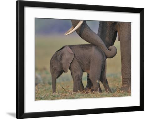 African Elephant (Loxodonta Africana) Cow Reassuring Young Calf With Trunk, Chobe River, Botswana-Lou Coetzer-Framed Art Print