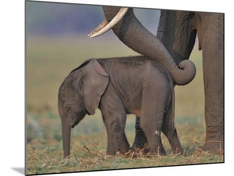 African Elephant (Loxodonta Africana) Cow Reassuring Young Calf With Trunk, Chobe River, Botswana-Lou Coetzer-Mounted Photographic Print