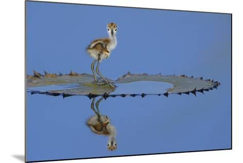 African Jacana (Actophilornis Africana) Chick, One Day, Standing On Leaf-Lou Coetzer-Mounted Photographic Print