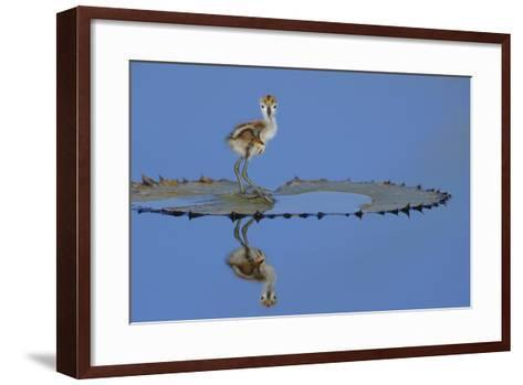 African Jacana (Actophilornis Africana) Chick, One Day, Standing On Leaf-Lou Coetzer-Framed Art Print