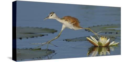 African Jacana (Actophilornis Africana) Chick Running Between Water Lily Pads-Lou Coetzer-Stretched Canvas Print