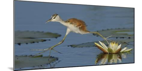 African Jacana (Actophilornis Africana) Chick Running Between Water Lily Pads-Lou Coetzer-Mounted Photographic Print