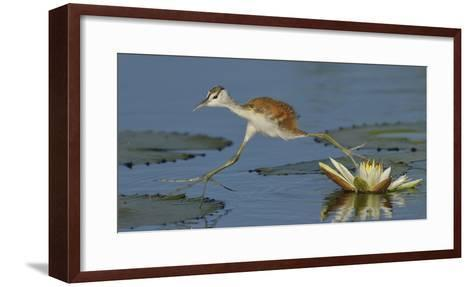 African Jacana (Actophilornis Africana) Chick Running Between Water Lily Pads-Lou Coetzer-Framed Art Print