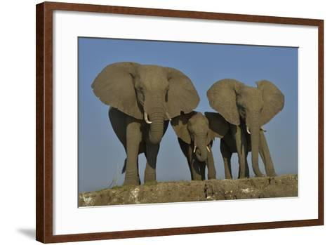 African Elephants (Loxodonta Africana) Cow With Her Two Calves, Chobe River, Botswana-Lou Coetzer-Framed Art Print
