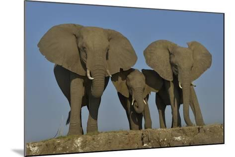 African Elephants (Loxodonta Africana) Cow With Her Two Calves, Chobe River, Botswana-Lou Coetzer-Mounted Photographic Print